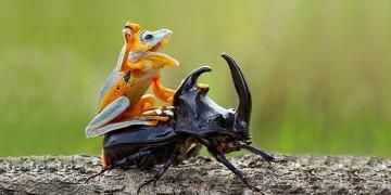яванская летающая лягушка