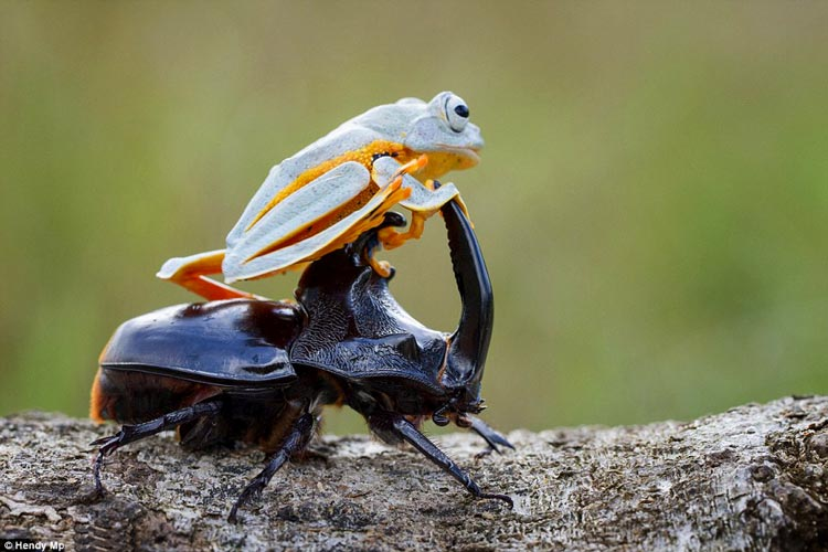 яванская летающая лягушка фото