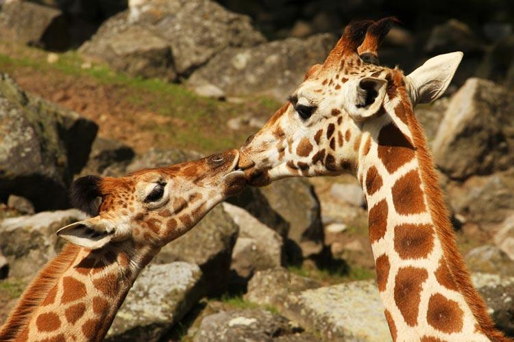 звери целуются