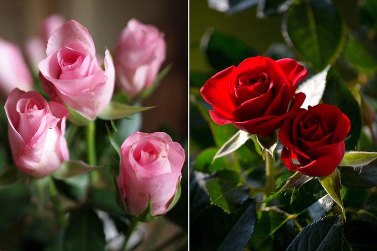 благоухающие розы