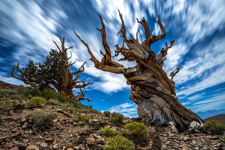 дерево мафусаил фото