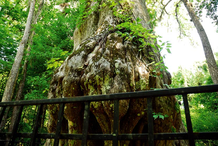древние деревья фото