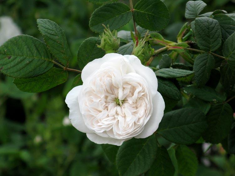 как пахнет дамасская роза