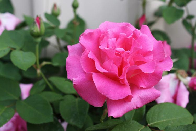 какие розы сильнее пахнут
