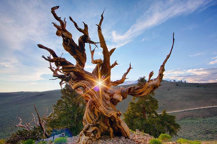 самое старое дерево на планете