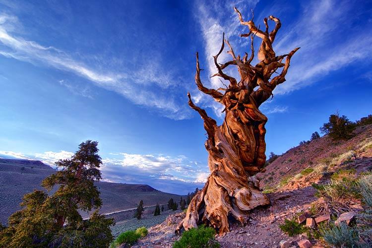 самые древние деревья на земле