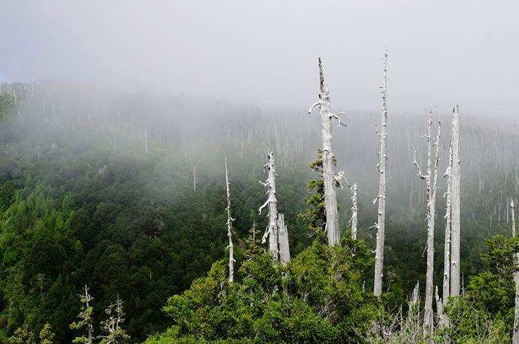 самые древние деревья на земле фото
