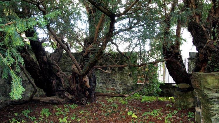самые старые деревья на планете фото
