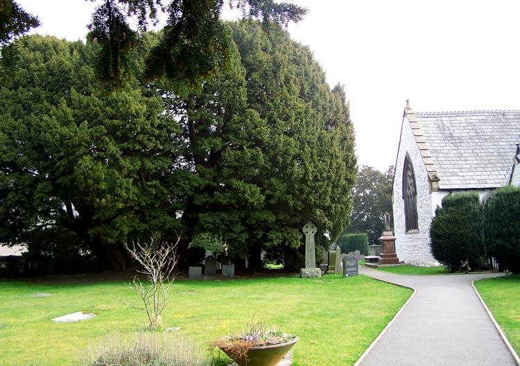 самые старые деревья в мире фото