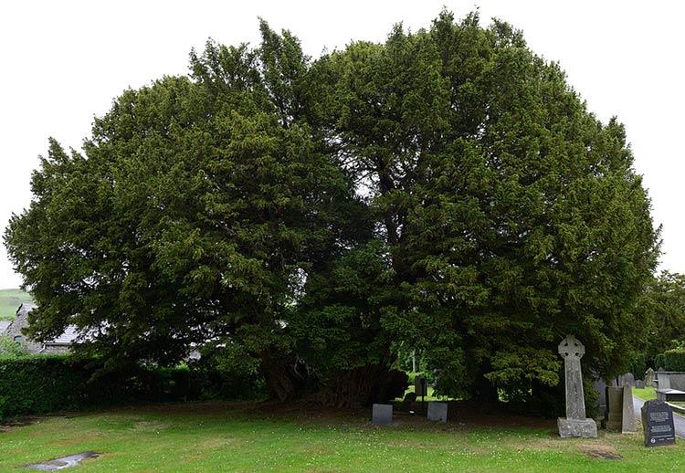 самые старые и большие  деревья