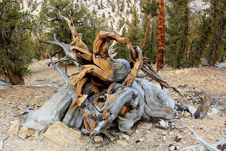 старейшее дерево на земле