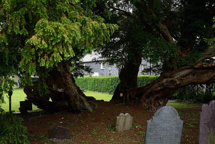 старейшие деревья