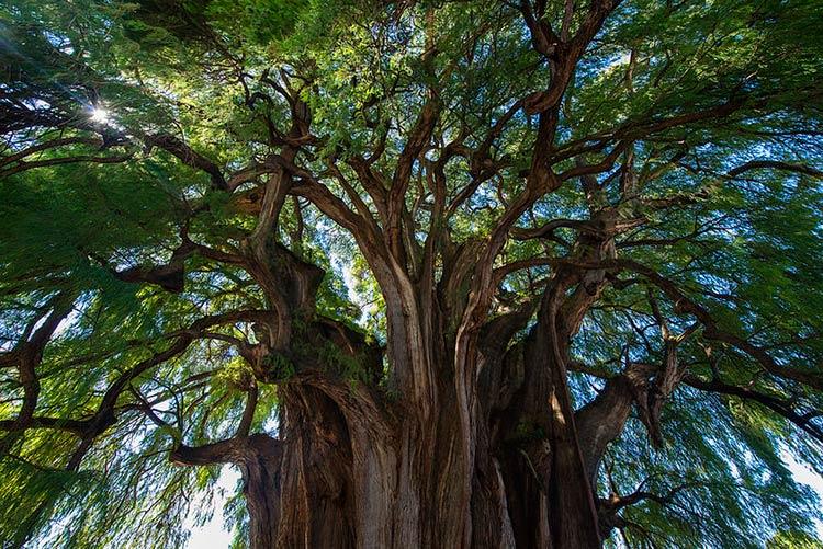 тысячелетние деревья