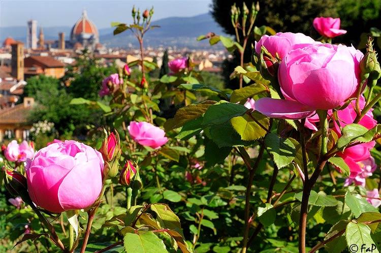 флоренция сад роз