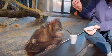 орангутанг смеется над фокусом видео