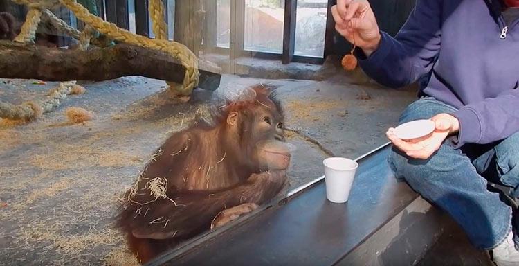 видео про обезьян смешное до слез