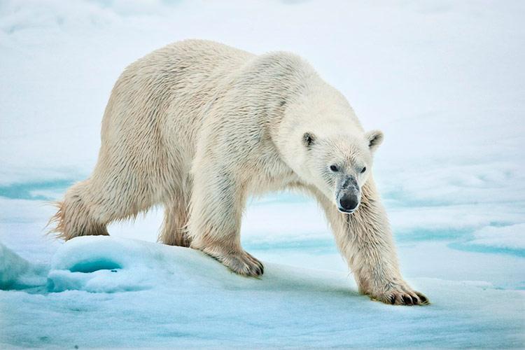 животный мир гренландии