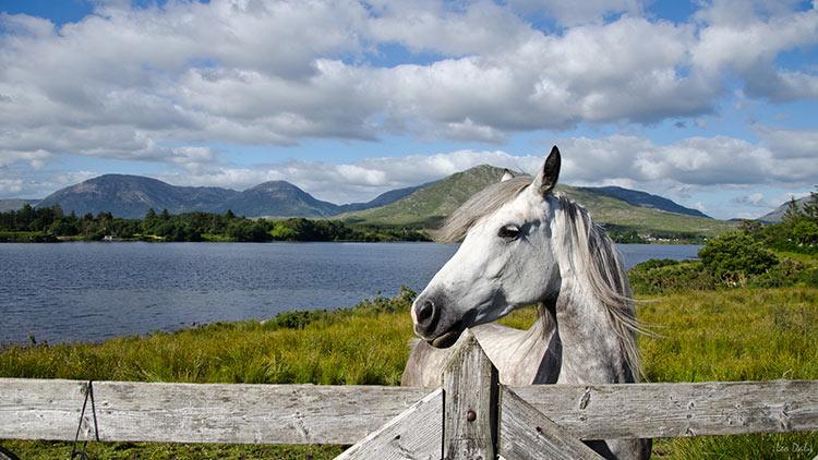 коннемара порода лошадей