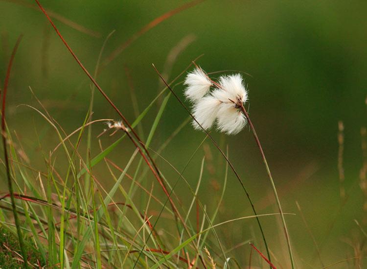 пушица фото растения
