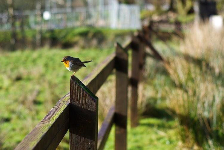 зарянка птица фото