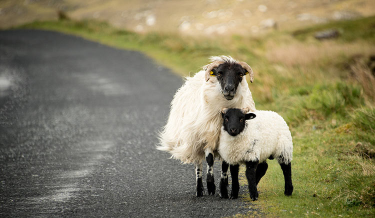 животные ирландии