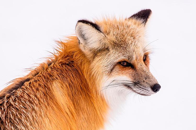 йеллоустонский национальный парк животные