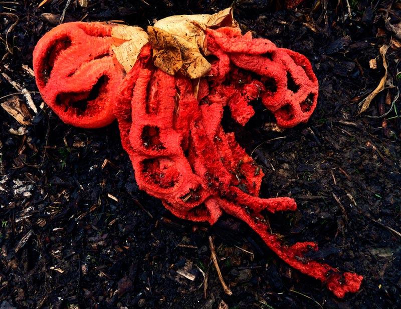 гриб решеточник красный фото
