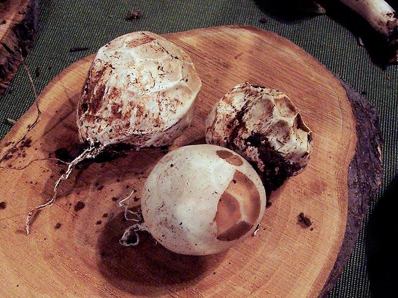 гриб решеточник красный молодые плодовые тела