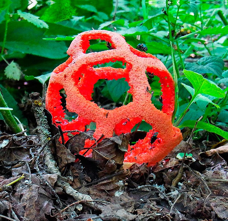 гриб решеточник красный похожий на фрукт