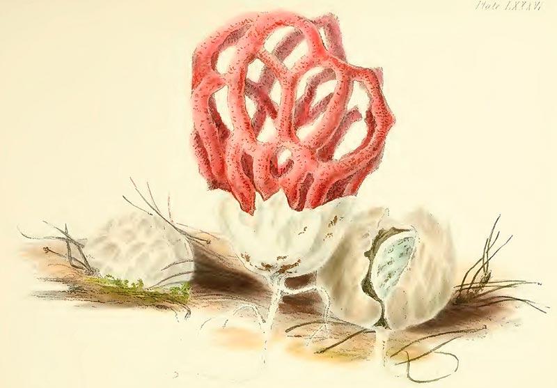гриб решеточник красный рисунок