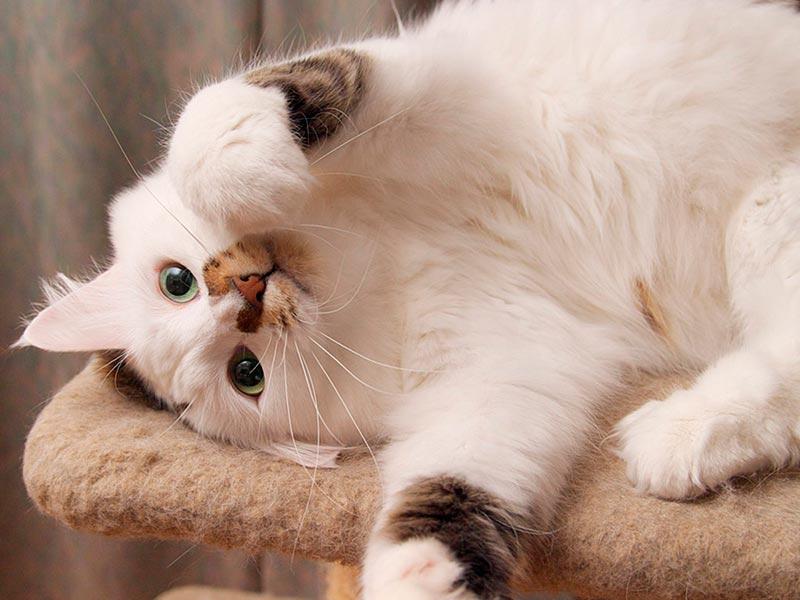 кот на когтеточке
