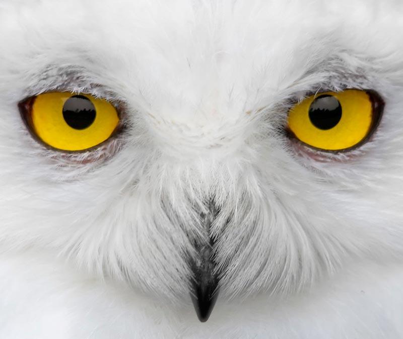 белые совы фото