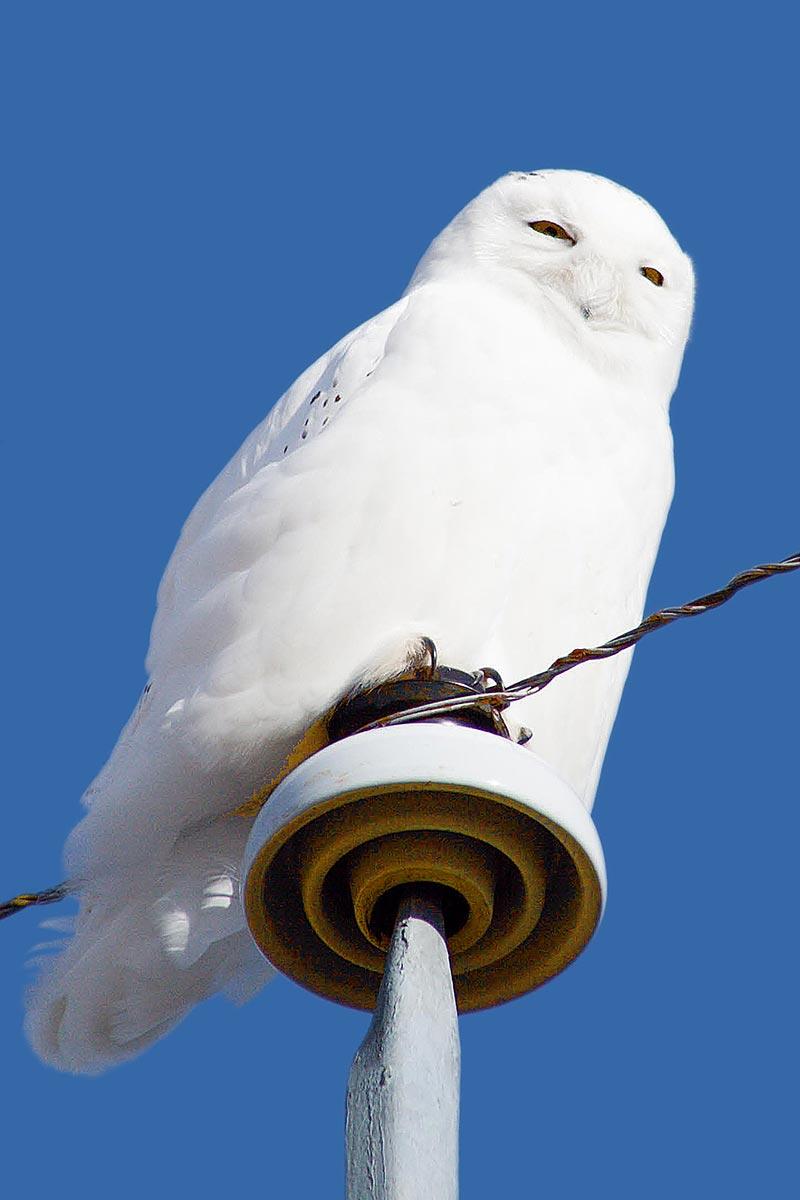 белые совы видео