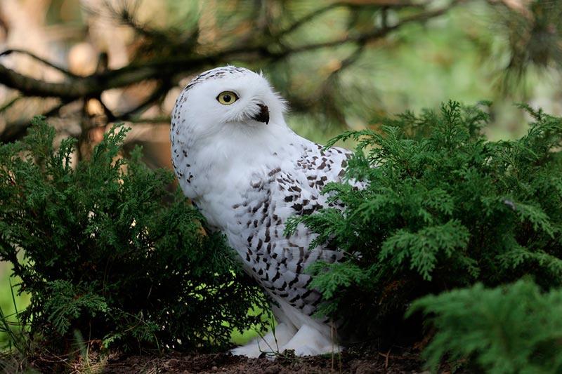 полярные белые совы