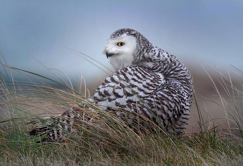 полярные белые совы фото 01