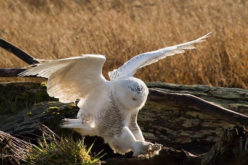 полярные белые совы фото 02