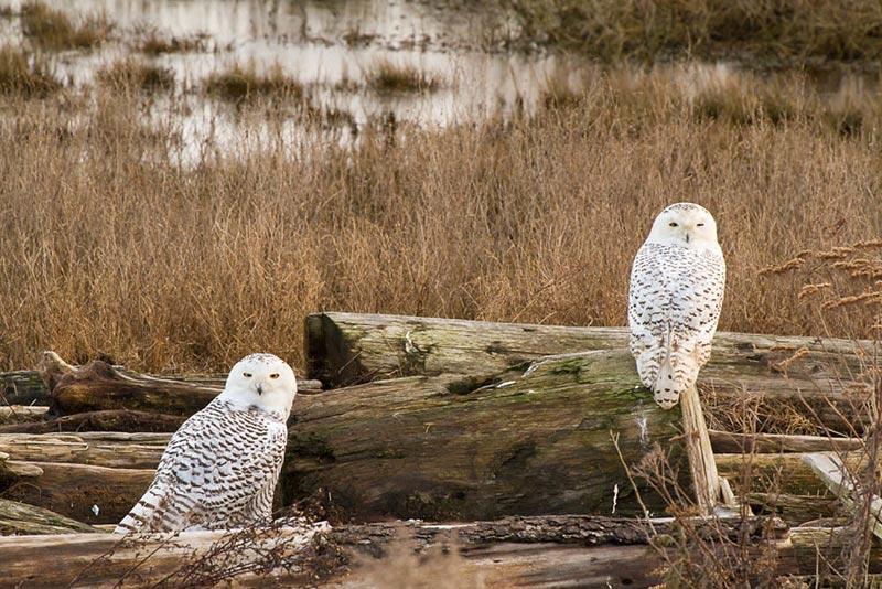 полярные белые совы фото 03
