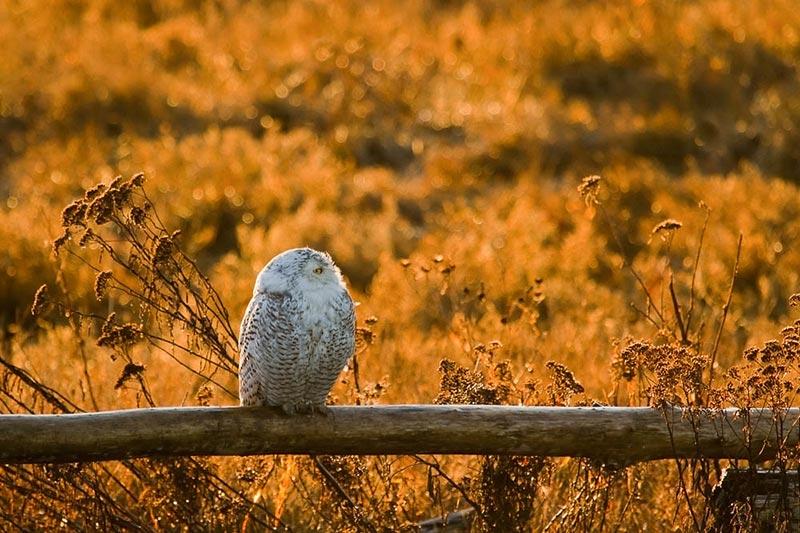 полярные белые совы фото 04