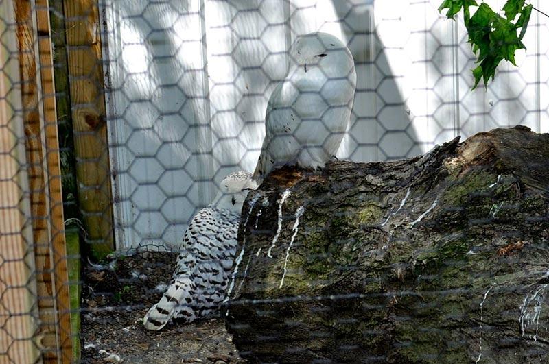 полярные белые совы фото 06