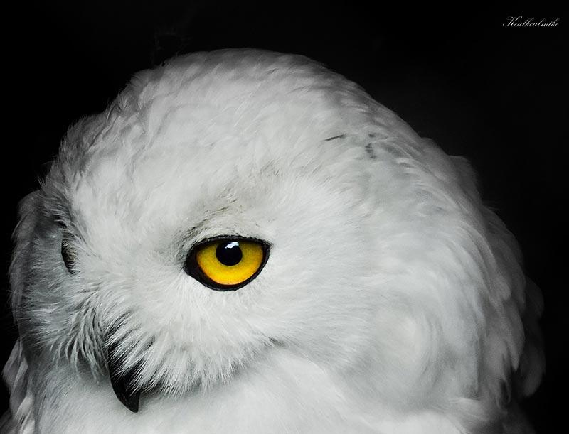 полярные белые совы фото 07