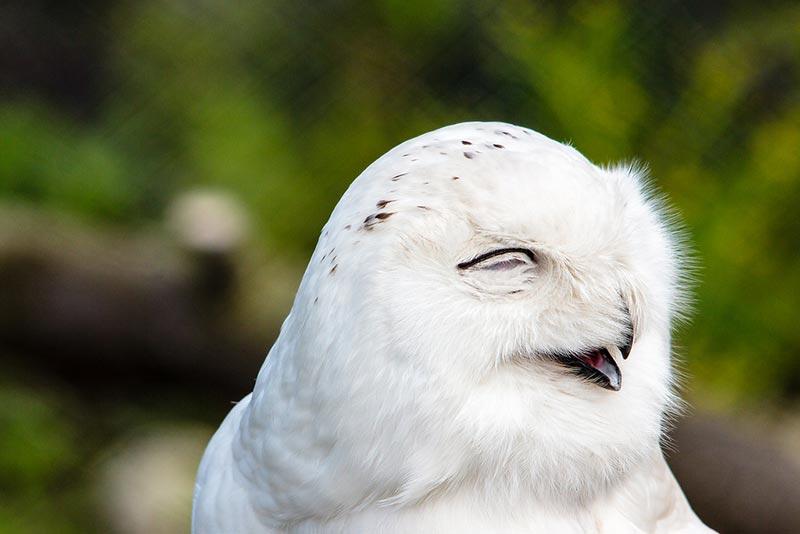 полярные белые совы фото 09