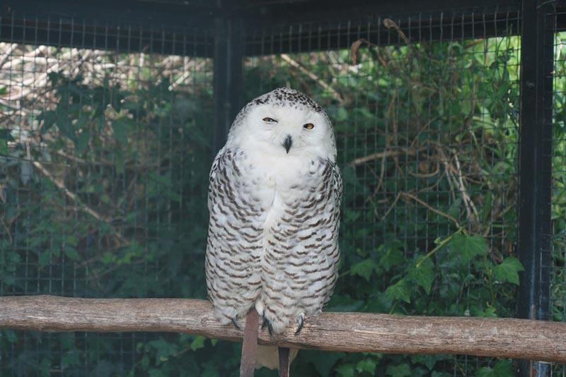 полярные белые совы фото 10