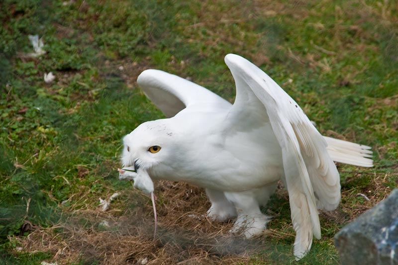 полярные белые совы фото 14