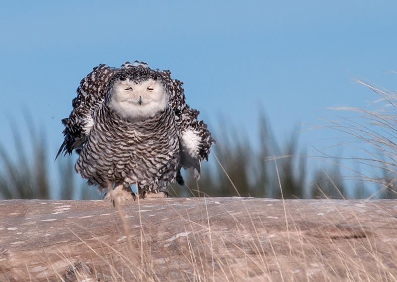 полярные белые совы фото 17