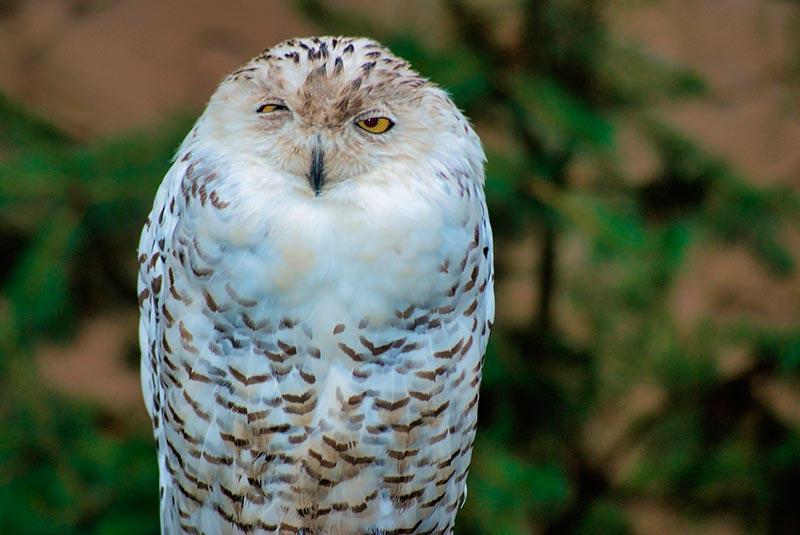полярные белые совы фото 19