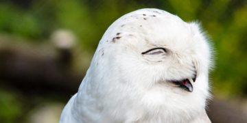 полярные белые совы фото видео