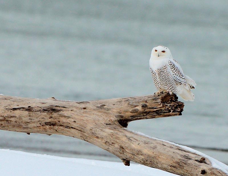 полярные совы фото
