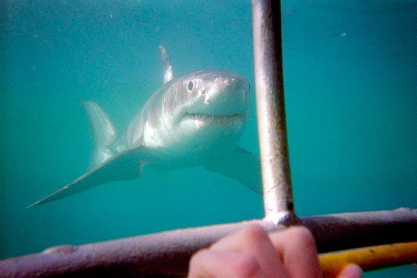 белая акула фото видео статья 1