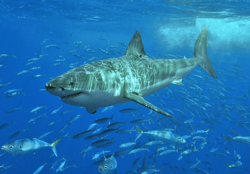 белая акула фото видео статья 3