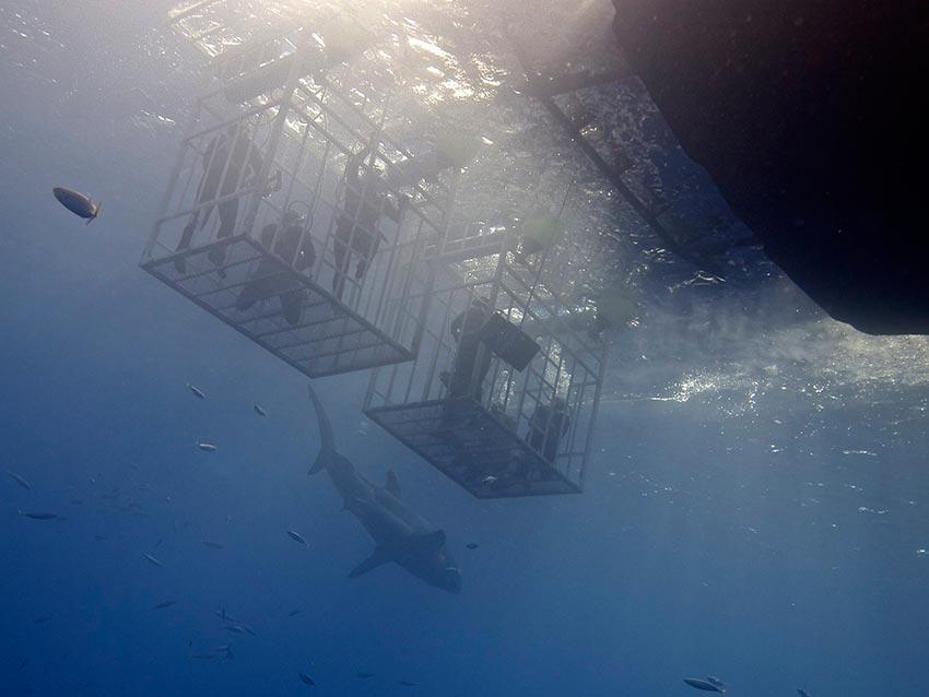 белая акула фото видео статья 4